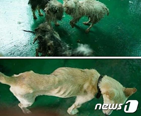 제주 서귀포시에서 방치돼 있던 개 33마리가 지난달 7일 동물보호단체 제주동물친구들에 의해 구조될 당시의 모습. /사진제공= 뉴스1, 제주동물친구들