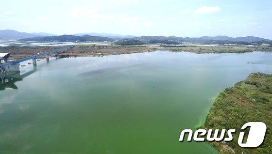 [사진]녹색 물감 풀어놓은 듯…금강 녹조 기승