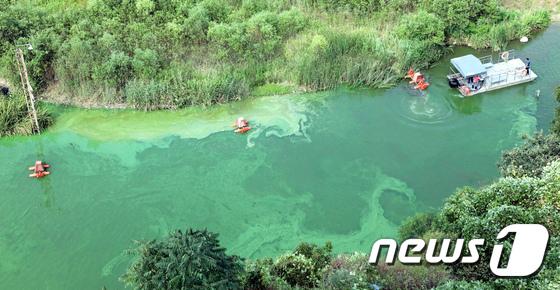 [사진]지금 금강은...'녹색 물감 풀어놓은 듯'