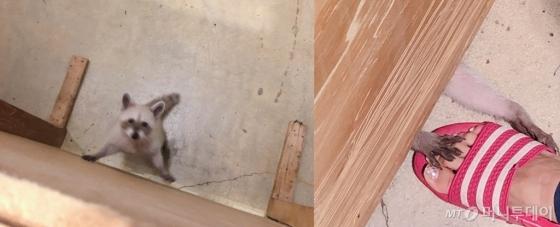 지난 12일 찾은 서울 마포구의 한 야생동물카페에 있는 라쿤의 모습. 홀로 좁은 공간에 갇힌 라쿤(왼쪽)은 불안한 듯 쉴 새 없이 이리저리 움직였고 벽 아래 공간으로 손을 뻗어 사람을 찾았다. /사진= 유승목 기자
