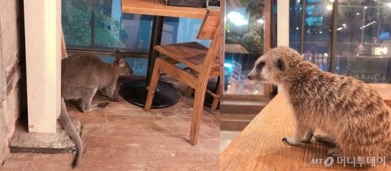지난 12일 찾은 야생동물카페에서 사육되고 있는 왈라비(왼쪽)와 미어캣의 모습. 왈라비는 무기력하게 구석에서 움직이지 않았다. /사진= 유승목 기자