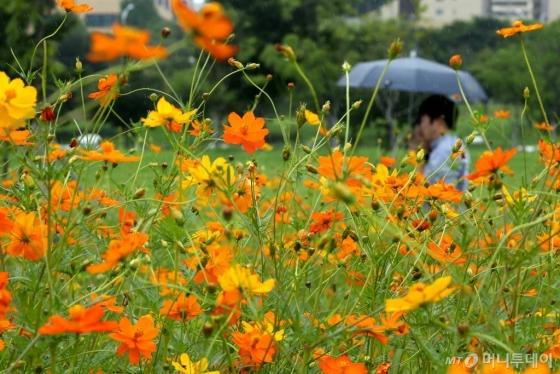 서울 여의도 한강공에 황화 코스모스가 활짝 피어있다.