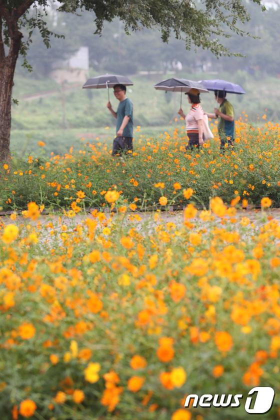 [사진]'가을비 내리는 코스모스 산책길'