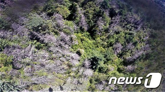 [사진]지리산 구상나무, 가문비나무 '떼죽음'