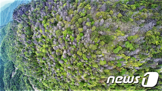 [사진]지리산 고산지대 구상나무·가문비나무 집단 고사…산사태 우려