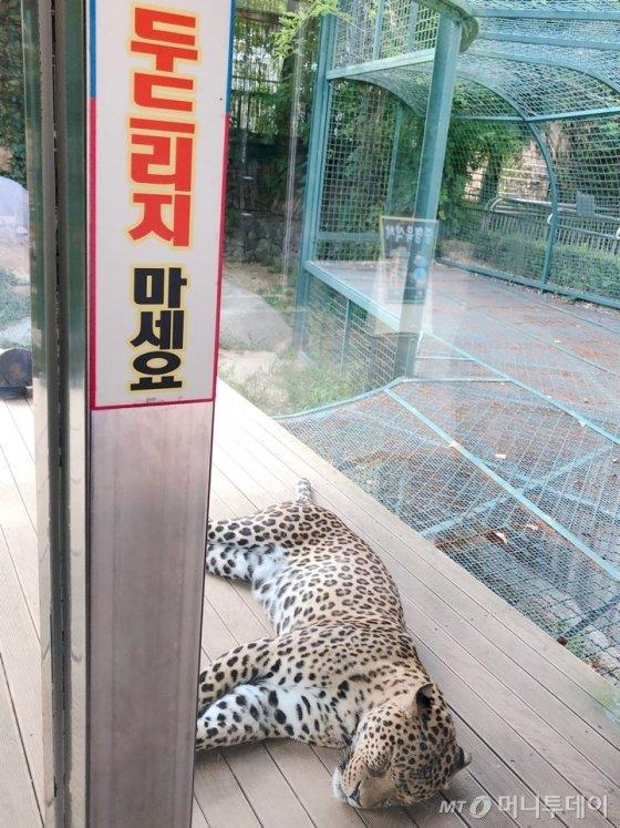 지난달 30일 찾은 대전의 한 동물원. 야행성인 재규어가 낮잠을 자고 있지만 많은 관람객이 유리창을 두드리며 재규어의 잠을 깨웠다. /사진= 유승목 기자