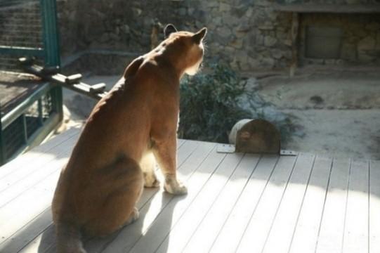 지난달 18일 대전동물원에서 사육사 관리 부실로 탈출했다 이날 밤 사살된 퓨마 '호롱이'의 생전 모습./사진=온라인 커뮤니티