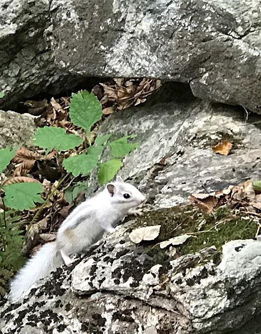지난달 25일 강원도 설악산국립공원 설악폭포 부근에서 흰 다람쥐가 발견됐다. /사진=설악산국립공원사무소 제공