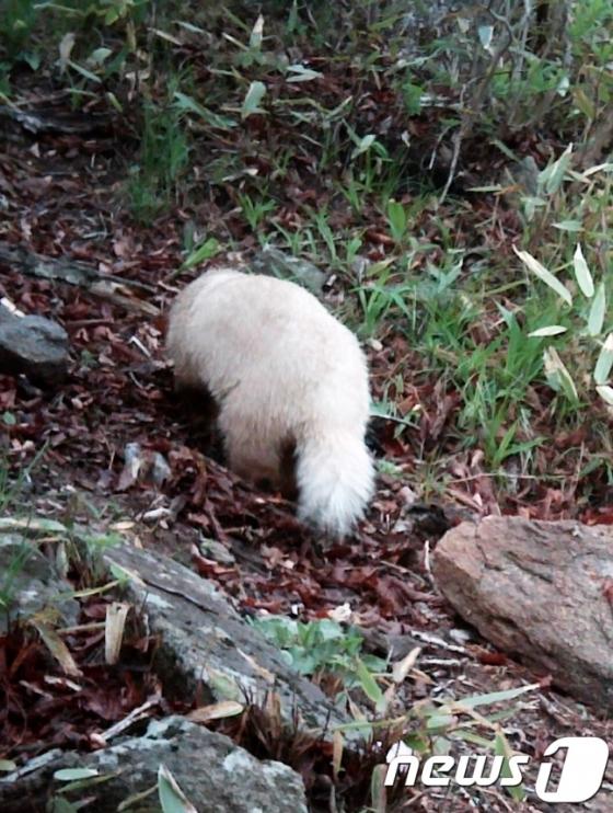 2015년 지리산에서 발견된 흰색 오소리. /사진=지리산국립공원 남부사무소 제공, 뉴스1