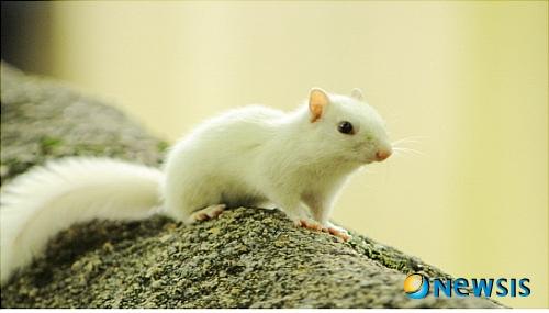2009년 북한산국립공원 소귀천 계곡에서 발견된 흰 알비노 다람쥐./사진=북한산국립공원사무소 제공, 뉴시스