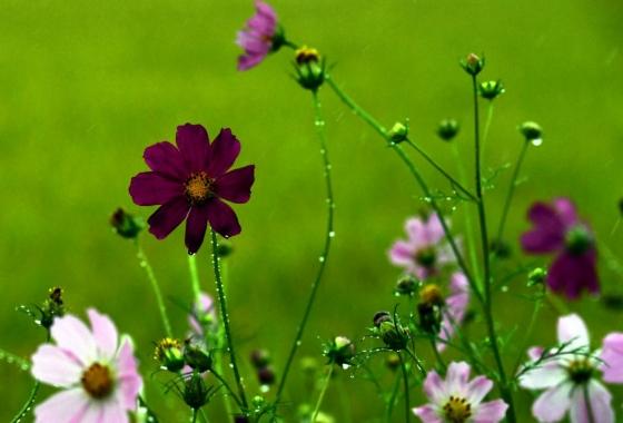 가을비가 내린 지난 21일 경남 남해군 남해읍 인근 들녘에서 꽃망울을 터트린 코스모스가 빗방울에 젖어 가을의 운치를 더하고 있다./사진=뉴시스
