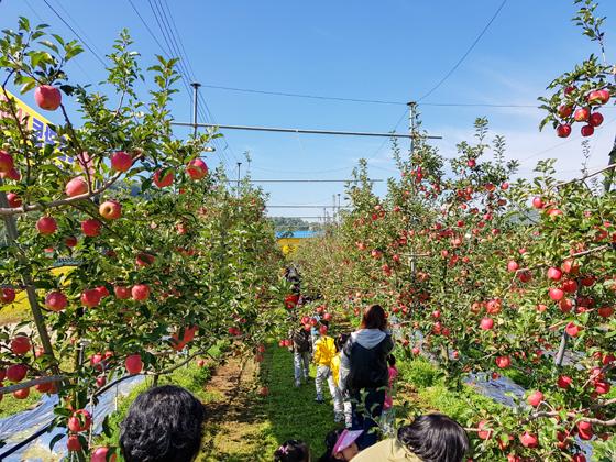 사과 수확 체험을 즐기고 있는 사람들./사진제공=충북 보은군