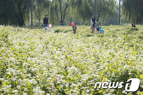 [사진]메밀꽃 산책