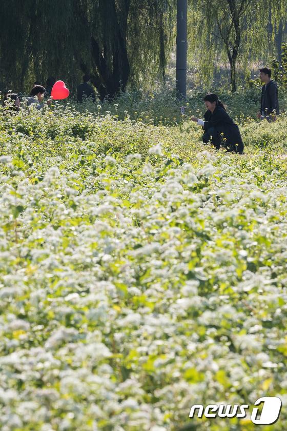 [사진]메밀꽃 사이로