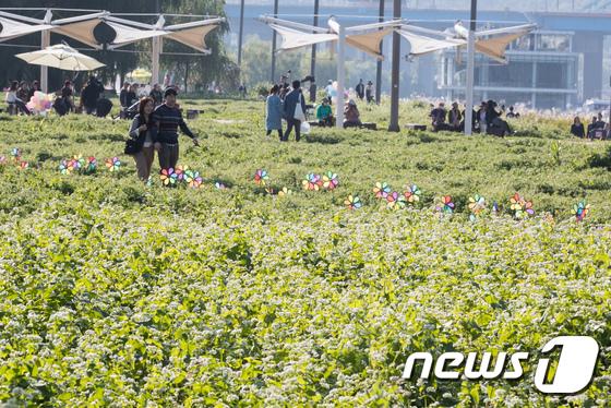 [사진]메밀꽃밭 거닐며