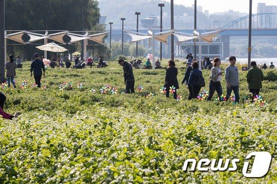 [사진]한강 서래섬 메밀꽃축제
