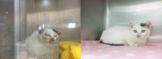 지난달 880g의 몸무게에도 강제적으로 중성화수술을 당해 생명이 위태로웠던 고양이 기적이. 활동가의 보살핌으로 건강을 회복했다. /사진= 캣맘 도야고야