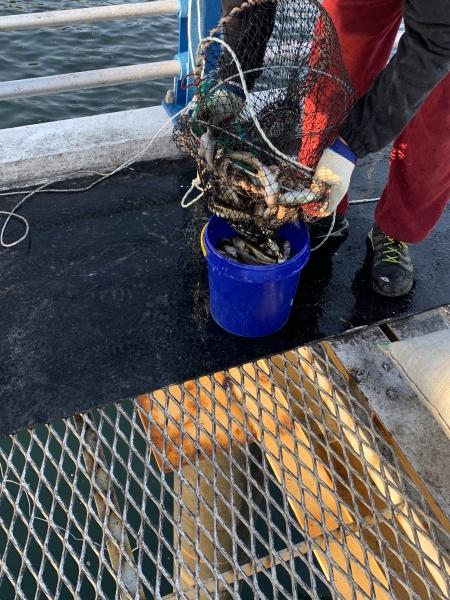유어통발을 이용한 도루묵 포획 모습/사진제공=국립수산과학원