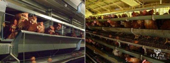 케이지 방식으로 사육되고 있는 닭의 모습. /사진제공= 동물자유연대