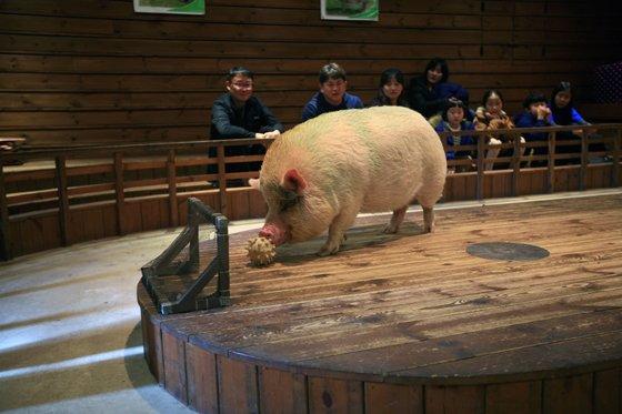 경기 이천 '돼지보러오면돼지'의 돼지 공연에서 돼지가 골대에 골을 넣고 있다./사진제공=한국관광공사