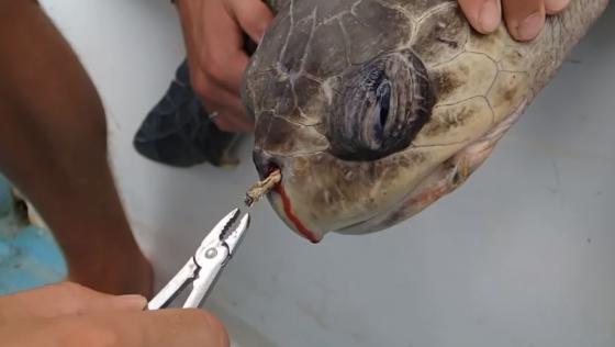 코스타리카 해변에서 발견된 코에 빨대가 꽂혀있는 바다거북이의 모습. 바다로 흘러들어간 플라스틱 쓰레기는 바다생물을 위협하고 있다. /사진=유튜브 채널 'Sea Turtle Biologist' 영상 캡처