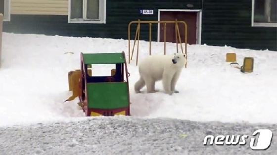 러시아 시베리아 북극권 마을에 북극곰 50여마리가 한꺼번에 난입했다. <출처=시베리아타임스> © 뉴스1