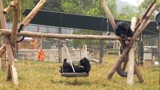 베트남 탐다오 생츄어리(보호시설)에서 구출된 곰들이 편히 휴식하는 모습. /사진=AAF 유투브 영상 캡처