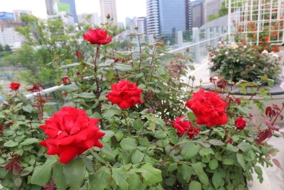 서울로 7107에 장미꽃이 활짝 피어있다. /사진제공=서울시
