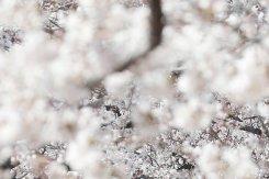코로나19에도 벚꽃놀이