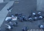 겨울 칼바람에도 꿋꿋 100만 '닭둘기'…도시의 '애물단지'