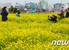 [사진]'유채꽃 활짝 핀 서귀포'