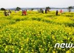 [사진]유채가 전하는 노란 봄소식