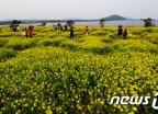 [사진]유채꽃 활짝 핀 서귀포