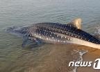 '멸종위기종' 고래상어, 다시 바다로