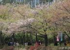 아쉬운 막바지 벚꽃