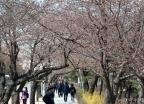 여의도 봄꽃축제 D-1
