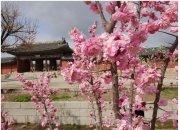 '봄꽃의 미학' 맛볼 궁궐 탐방 해볼까…아름다운 산책로에서 꽃길까지