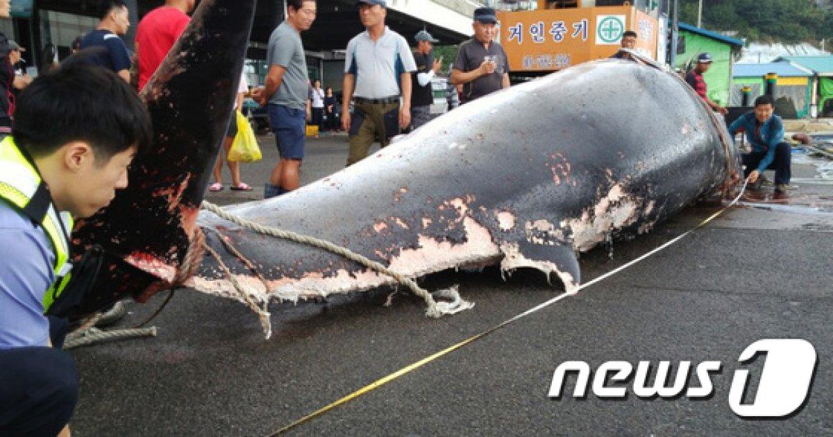 [사진]대진항 해상에서 혼획된 7M 밍크고래