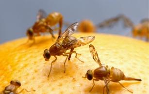 과일 먹으려다 초파리 떼에 울상… 퇴치법은?