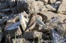 흑산도에서 미기록종 조류 '바위양진이' 발견
