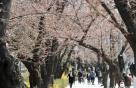 """""""벚꽃놀이는 내년에"""" 주말 여의도한강공원 '주차장 폐쇄' 초강수"""