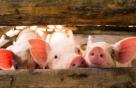"""코로나 '고기 감염' 가능성도…""""냉장 돼지 피부서 2주 생존"""""""