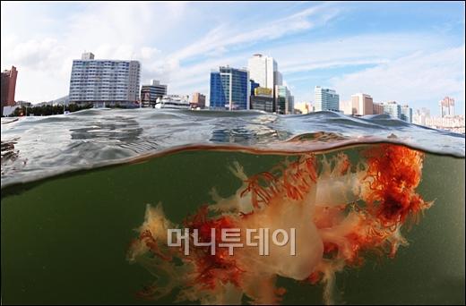 [사진]8월 이달의보도사진상 '해파리의 침공'