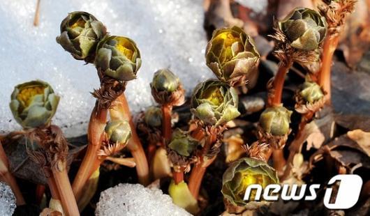 [사진]봄을 알리는 복수초