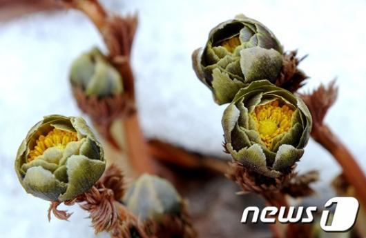 [사진]봄 소식 전하는 복수초