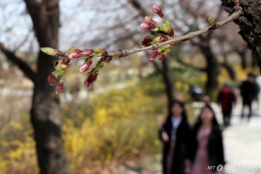 [사진]개화 앞둔 벚꽃