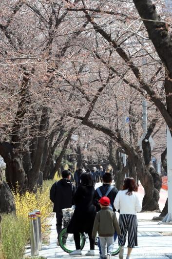 [사진]하루 앞둔 여의도 봄꽃축제
