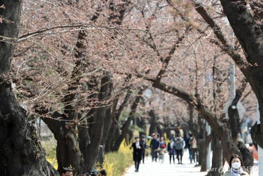 [사진]개화 준비하는 윤중로벚꽃길