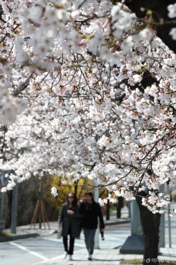 [사진]활짝 핀 벚꽃