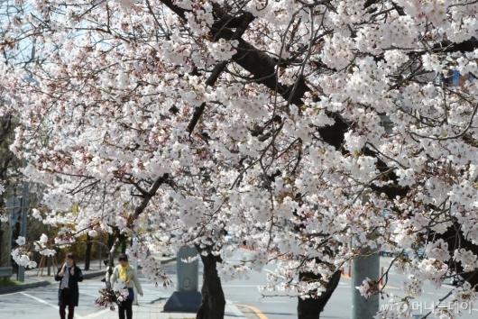 [사진]'벚꽃이 활짝'
